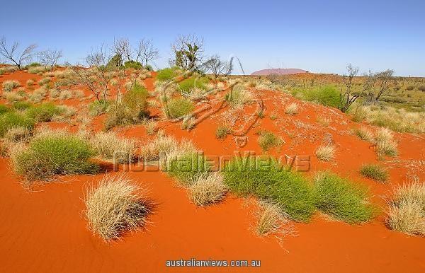Red desert sand dunes. Outback Australia. Spinifex bush in the red desert sand dunes of outback Australia. Central Australia.