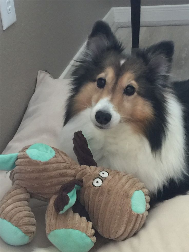 Sheltie and Stuffie and I'm dying from their cuteness!