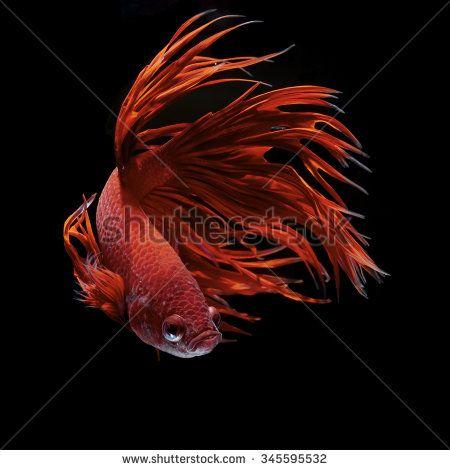 Betta fish, siamese fighting fish, betta splendens - stock photo