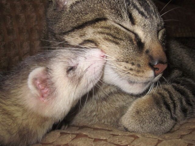 Best Ferrets Galore Images On Pinterest Beautiful Haha And Food - Rescued kitten adopted by ferrets now thinks shes a ferret too