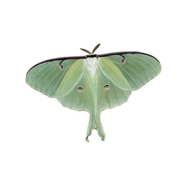 Luna Moth Vinyl Decal ($3.50) ❤ liked on Polyvore featuring home, home decor, wall art, fillers, animals, backgrounds, insects, decor, vinyl wall art and butterfly car decals