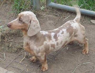 Dachshunds have a wide color variety. They are as follows. Solid colors are: black, red (from strawberry blond to deep auburn), chocolate (brown), isabella (tan or fawn), cream (blond with no trace of red, from golden blond to platinum (the lighter the better) and blue (gray). In the wirehaired variety, cream is referred to as wheaten.