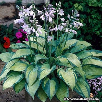 Purple Hosta June, Hosta, Plantain Lily