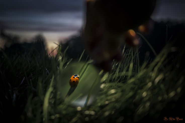 Ladybug at Sunset by Dr. Alex Penot on 500px