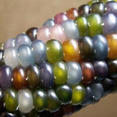 Glass Gem Corn must be the most beautiful corn in the world, so gorgeous that it started a bidding war where a pack of seeds went for more than $100! Extremely rare, this unique strain of flint corn w
