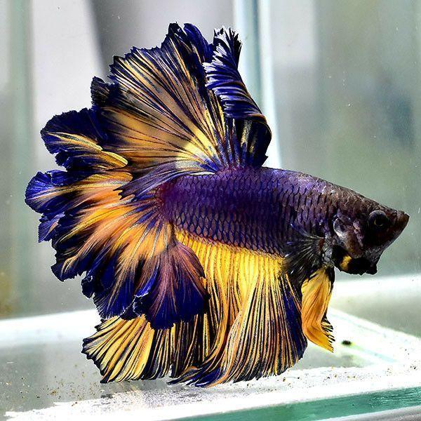 32 Photos Of The Most Beautiful Betta Fish Betta Fish Tank Betta Betta Fish Betta fish wallpaper gif betta gif id