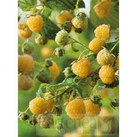 """Malina żółta (Rubus idaens) """"Golden Queen"""""""