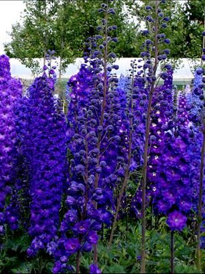 Delphinium, Larkspur - several varieties and pictures