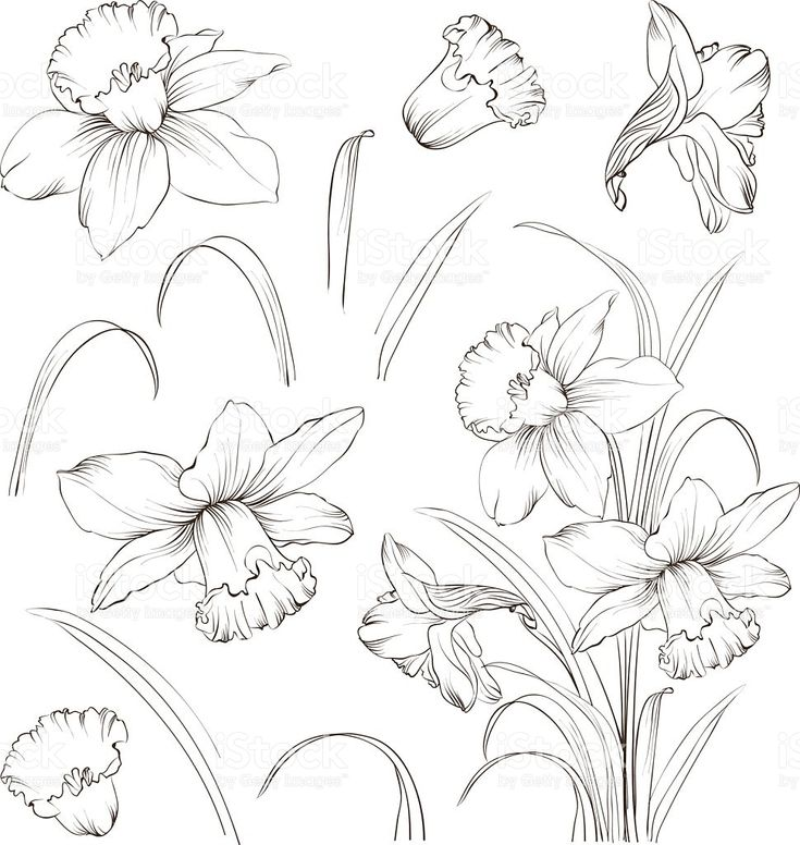 Set of line drawing narcissus, vector illustration royalty-free set of line drawing narcissus vector illustration stock vector art & more images of 2015