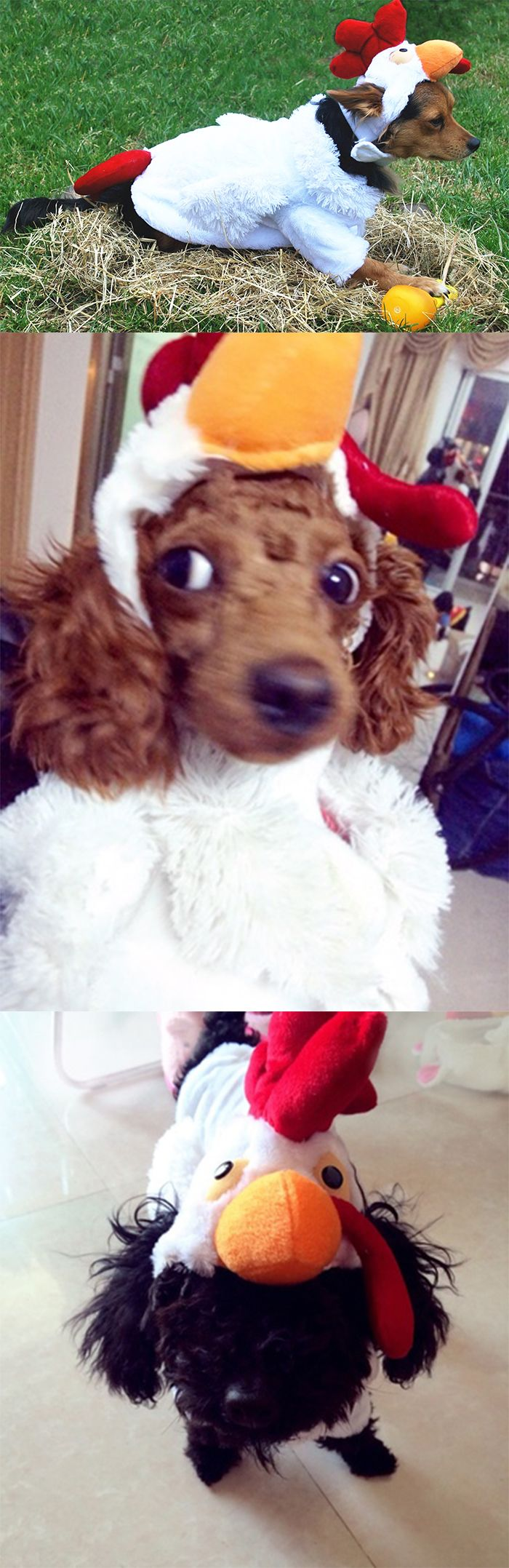 17 best images about d guisement pour animaux sur on pinterest bobs - Deguisement halloween chien ...