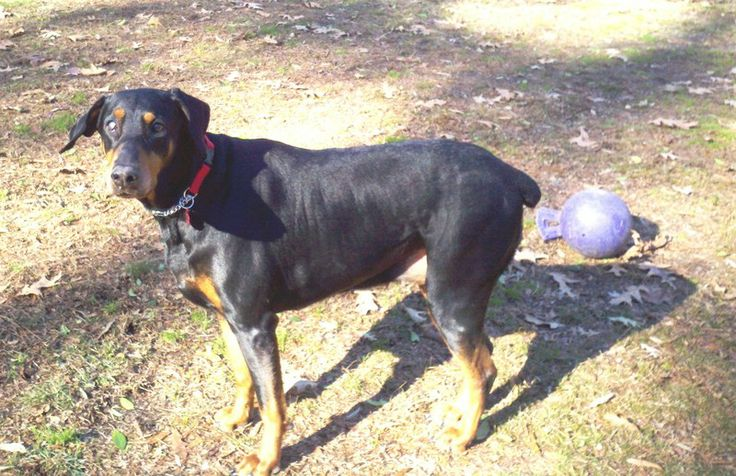 Bella is a sweet black/rust female with a docked tail and natural ears. She just turned 6 on her birthday, February 14. Bella lives here with several other large dogs and a Yorkie, I think she would also enjoy being the only dog and getting all of...