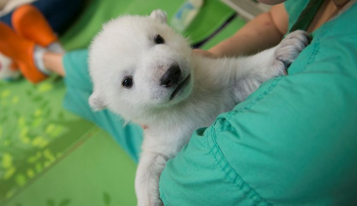 Celebrate International Polar Bear Day With Nora, Columbus Zoo's Adorable Polar Bear Cub Kids News Article