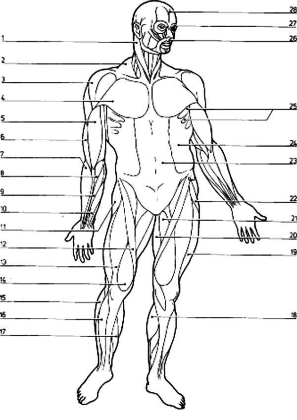 Blank Muscle Diagram Worksheet Free Muscular System