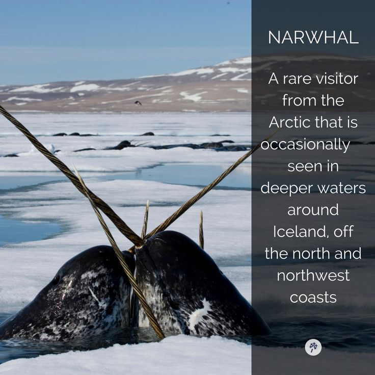 These creatures look like they could really hurt you! #narwhal #IcelandicAnimals #MarineLife #TourIS