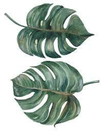 Resultat d'imatges de ilustraçoes botânicas brasileiras