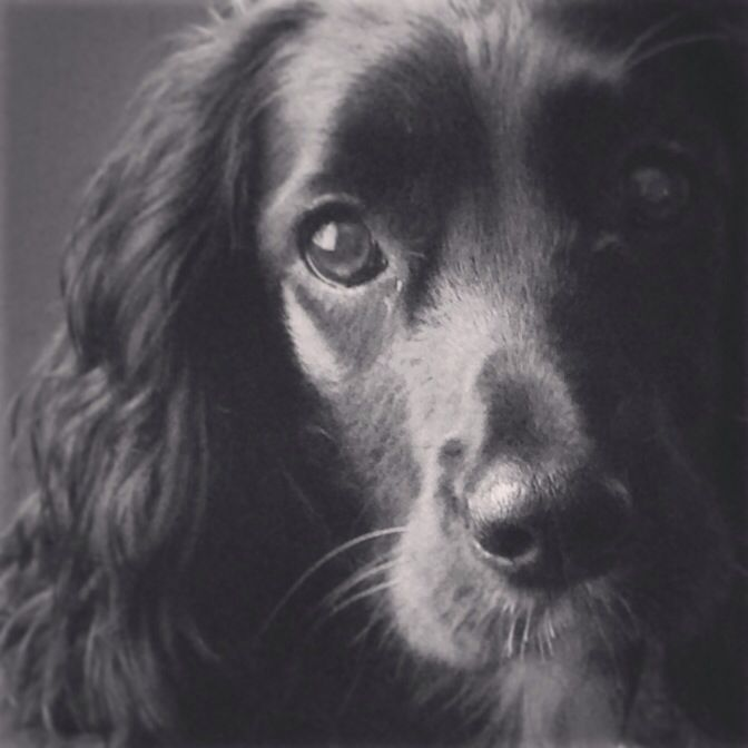Molly the Working Cocker Spaniel