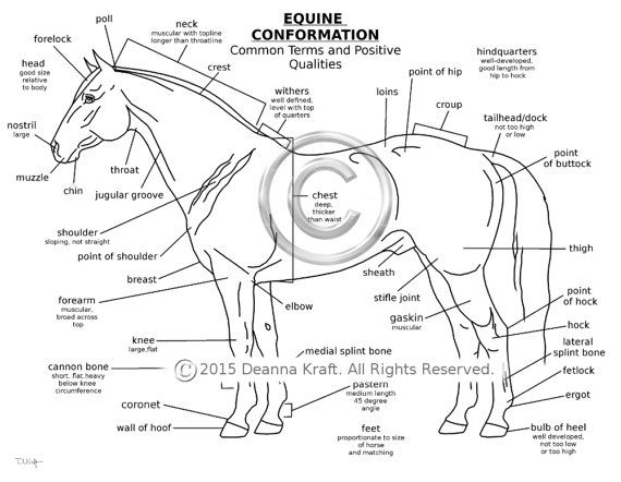 Equine Conformation, Horse Coloring Page, Downloadable Coloring Page