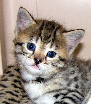 Top 10 Most Beautiful Cats Top 10 Most Beautiful Cat