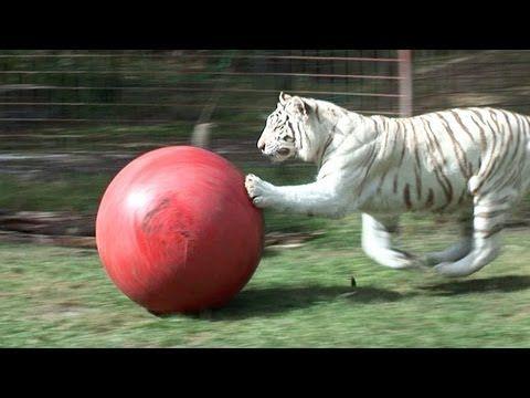 Zabu, The White Tiger, Loves Her Ball!
