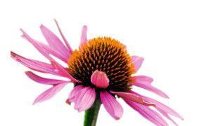 L'échinacée, la fleur de votre hiver… http://blog.laboratoire-lescuyer.com/echinacee-la-fleur-de-votre-hiver/