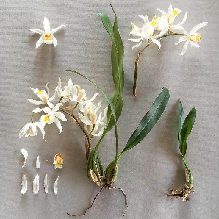 C O E L G Y N E . 'Unchained Melody' a hybrid of Coelogyne cristata X Coelogyne flaccida #botanicalstudy #botanicaldeconstruction #coelogyneunchainedmelody #coelogynecristata #coelogyneflaccida #orchidstagram #orchidsofinstagram #orchids #orchid #pseudobulb