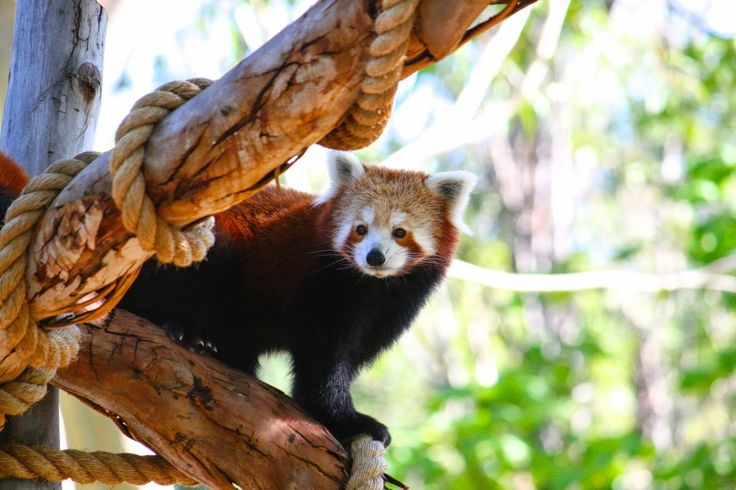Melbourne Zoo - Red Panda