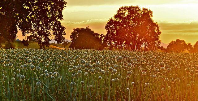 Alien Onions – Explore #1 6/13/13 | Flickr – Photo Sharing!
