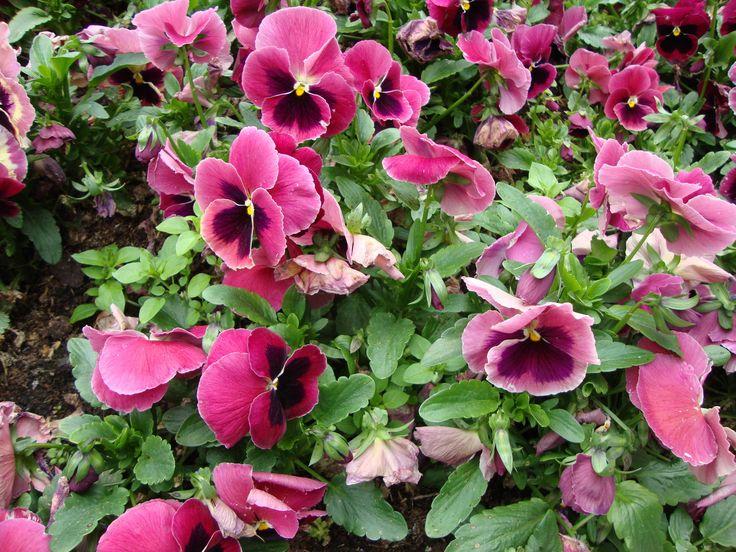violets  #flower #violet #purple #nature