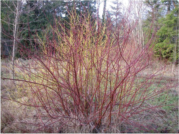 Red Twig Dogwood variety with a Yellow Twig Dogwood (Cornus sericea 'Flaviramea') in the background.