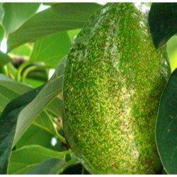 Os Benefícios do Chá de Folha de Abacate