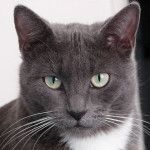 10 best Russian blue cats... images on Pinterest | Kittens ...