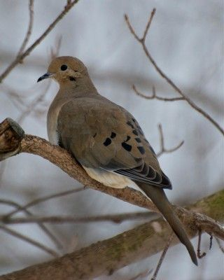 One of the sweetest sounds, a mourning dove, opening the morning at the Cottage.