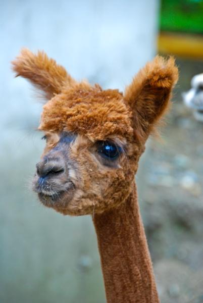 yup... a shaved alpaca ... make you laugh?
