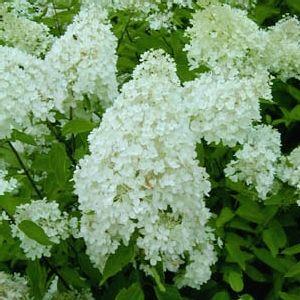 Hydrangea paniculata ´Grandiflora´ (pluimhortensia) TK - Plantengids - Tuingids: Heesters, sierstruiken voor de tuin - tuinkrant.com, Hydrangea