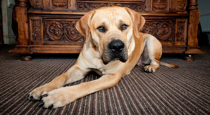 This is Dave, a large and loveable South African Mastiff, enjoying dog friendly brighton accommodation The Granville.