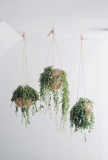 コロコロの葉っぱがネックレスのように連なる、とってもキュートな観葉植物。ナチュラル系のインテリアにもよく合います。 どんどん増えるので、ハンギングで楽しむのがおすすめ。葉っぱなのにとっても華やかです♪  ■育て方のポイント 湿気が苦手なので、水やりは月に1~2回で大丈夫です。お手入れの手間がかからないのが嬉しいですね。
