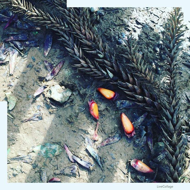 Pinhão. Grimpa. Araucária.  #famíliastica #shiraishis #lazercomfilhos #curitiba #chacaraevissima #verde #natureza #paraná #verdepraquetequero