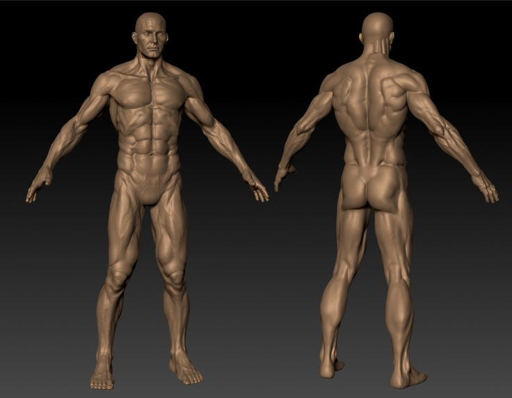 3d Anatomy Muscles Images - human body anatomy