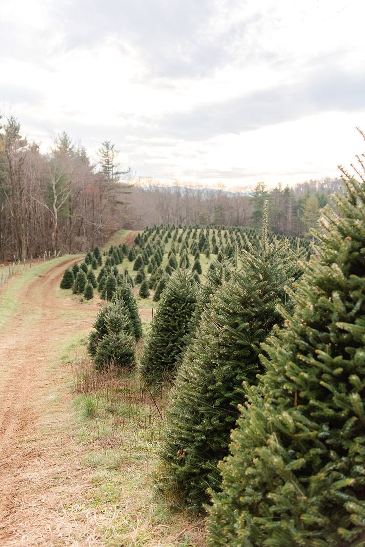 Christmas Tree Farms Circle C Tree Farm Boone, NC