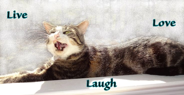 LIVE LOVE LAUGH CAT! Photo of rescue cat Macky in mid-yawn LOL -- cat, feline, kitty, mackerel, tabby, furkid, laying, lay, fun, silly, funny, life, like, mouth open, yawning, cute, lounge, sunny, sunlight, relax, relaxation, sunning, sunshine, cat lover, pets, pet, inspirational, motivational, laughter, saying, words, meaning, photo, photograph, meme, google theme.