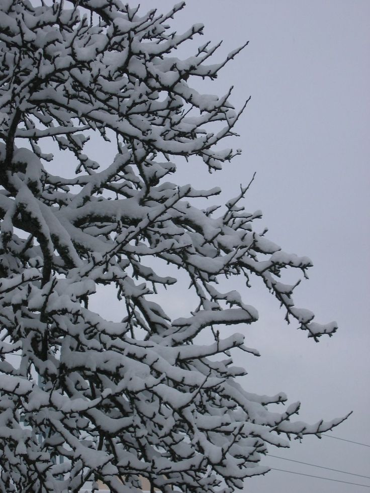 Snow covered branches, Chamonix