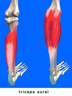 Le mollet, ou triceps sural, est constitué de 3 faisceaux musculaires, qui forment le tendon d'Achille à la partie inférieure de la jambe. On peut muscler ses mollets chez soi sans matériel