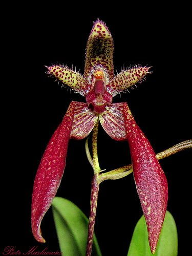 1000 images about bulbophyllum on pinterest orchid plants in nature and amazing flowers. Black Bedroom Furniture Sets. Home Design Ideas