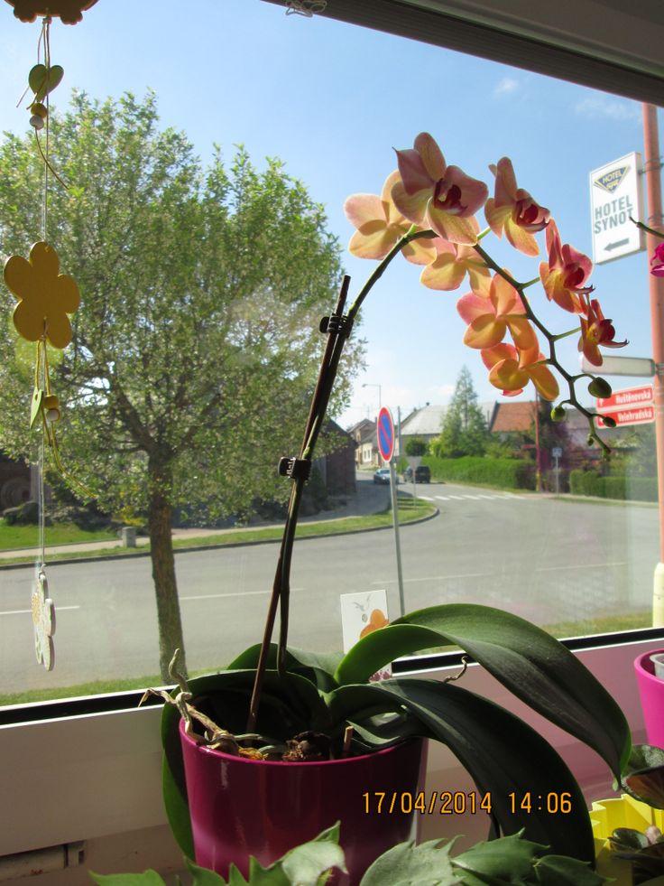 Orchidea v květu