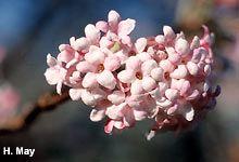 Winterschneeball blüht im Winter je nach Witterung ab November bis März und duftet sehr intensiv