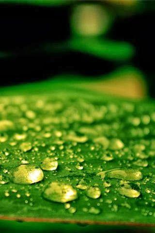 Dew Drops Android Wallpaper