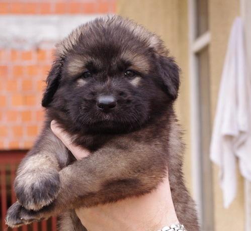 Šarplaninac illyrian sheepdog cayucatan yugoslav