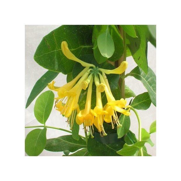 Chèvrefeuille vigoureux, idéal pour décorer des grandes surfaces. Floraison jaune orange en mai et juin. Très rustique.