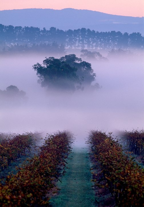 Morning mist over St Huberts vinyards in Victoria's Yarra Valley