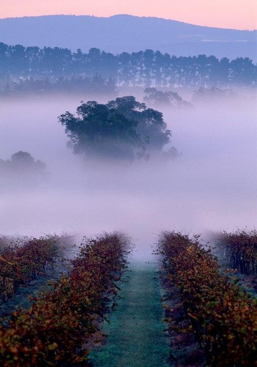 Morning mist over St Huberts vinyards in Victoria's Yarra Valley